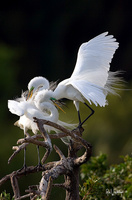 Great Egret Pair in Breeding Plumage I
