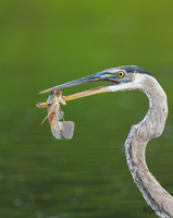Through and Through-Great Blue Heron and Tilapia