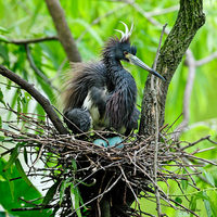 Tricolored Heron on Eggs